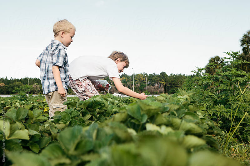 Boys Picking Strawberries by Stephen Morris for Stocksy United