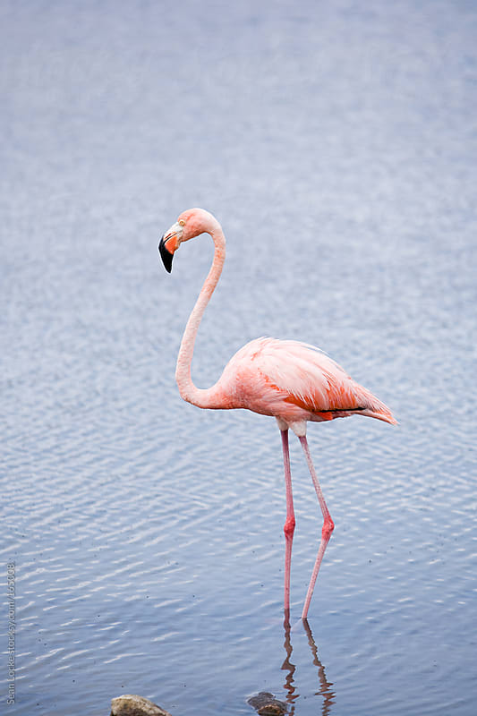 Flamingo in Bay at Bonaire by Sean Locke for Stocksy United