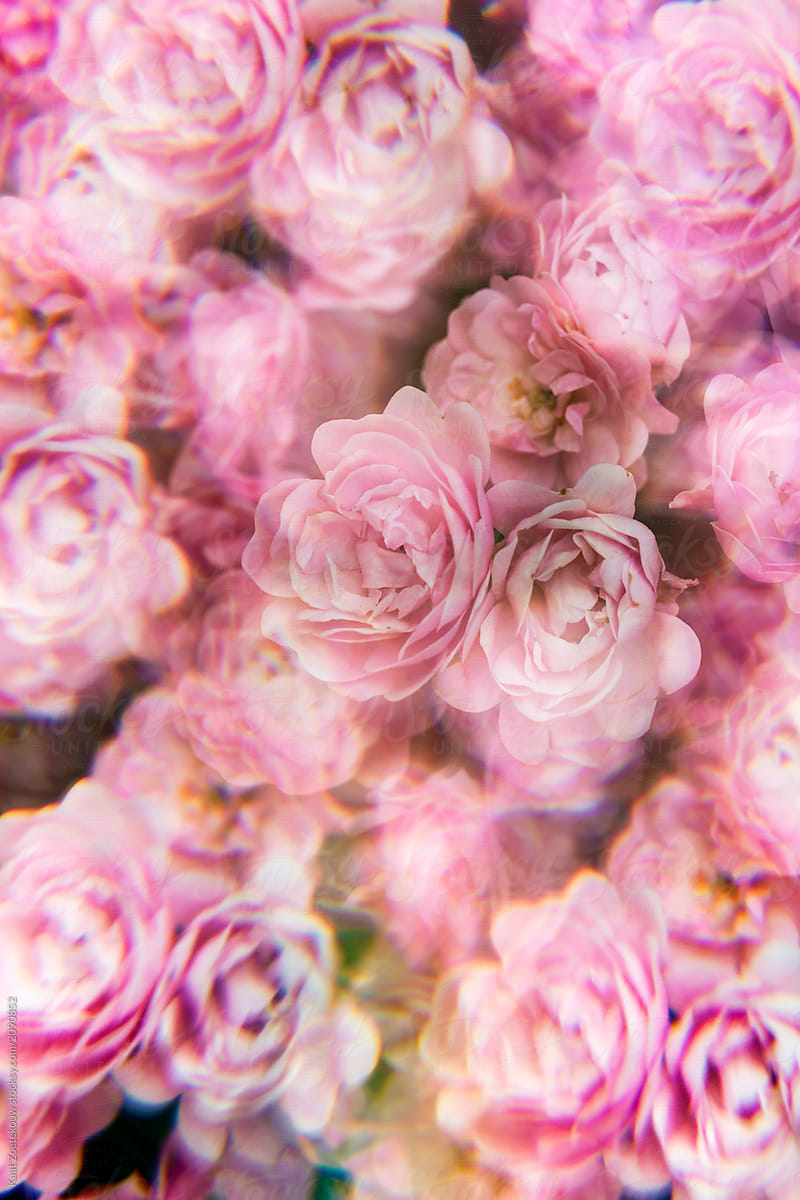 Pale Pink Rose Bush Photographed Through A Prism Filter Stocksy United