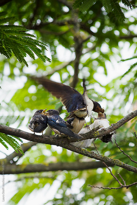 Swallow feeds young birds and puts fly in chick's beak on tree branch by Laura Stolfi for Stocksy United