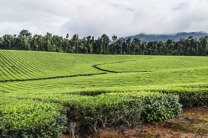 Tea plantation by Mauro Grigollo for Stocksy United