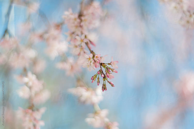 Close-up of flowering tree in the spring by Kathryn Swayze for Stocksy United