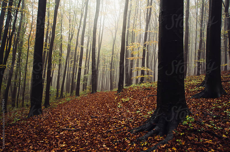 Misty forest with fog in autumn by Cosma Andrei for Stocksy United