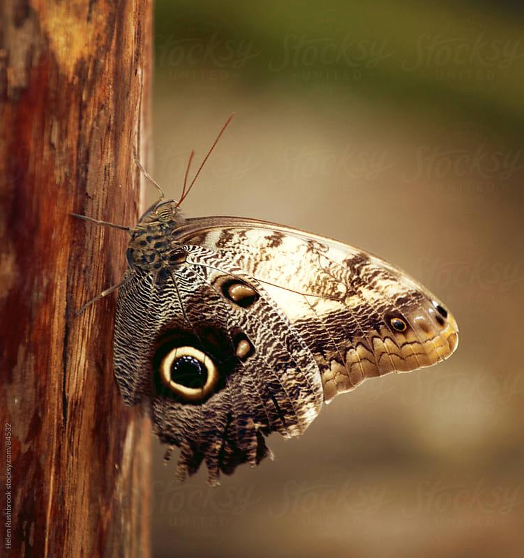 Owl Eye Butterfly by Helen Rushbrook for Stocksy United