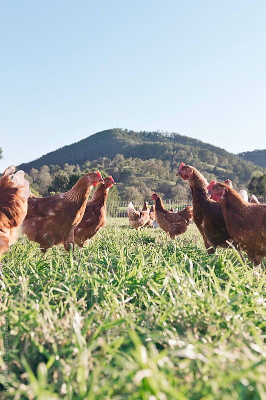 free range hens by Gillian Vann for Stocksy United