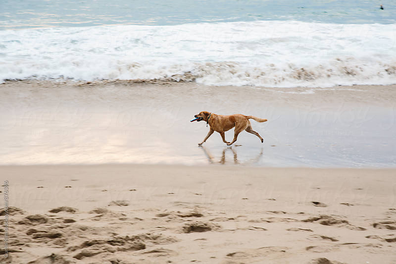 Dog running on sand at the beach by Curtis Kim for Stocksy United