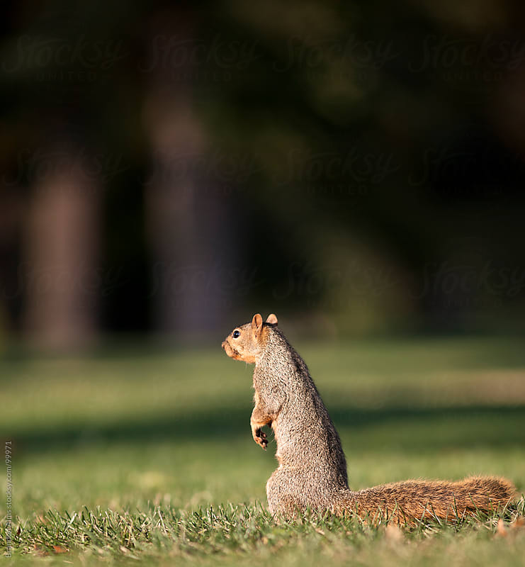 Eastern Fox Squirrel Standing in Grass by Brandon Alms for Stocksy United