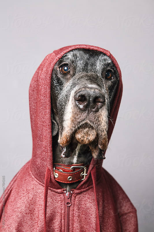 German Dane wearing hoodie by T-REX & Flower for Stocksy United
