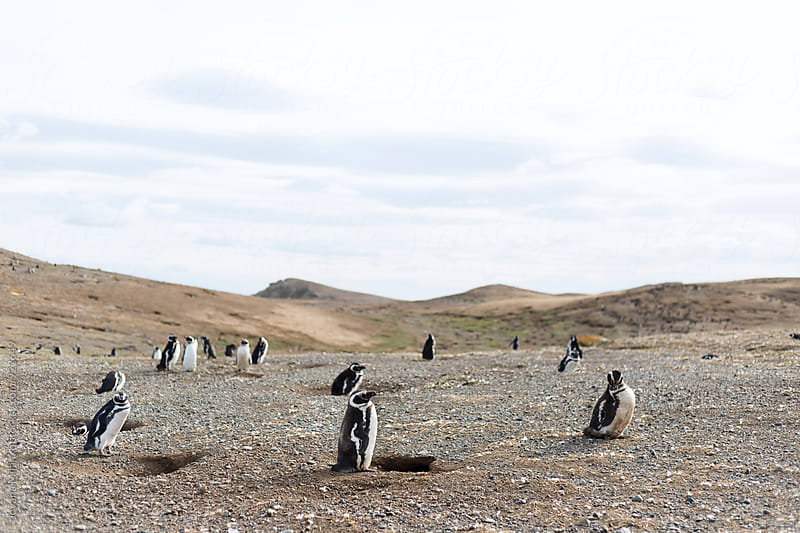 Colony of Magellanic penguins on a beach in South America by Jovana Milanko for Stocksy United