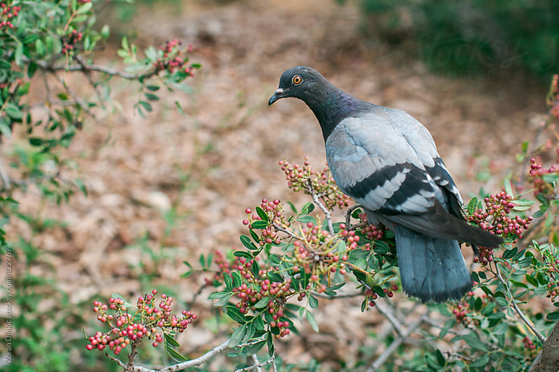 Wood Pigeon by Zocky for Stocksy United