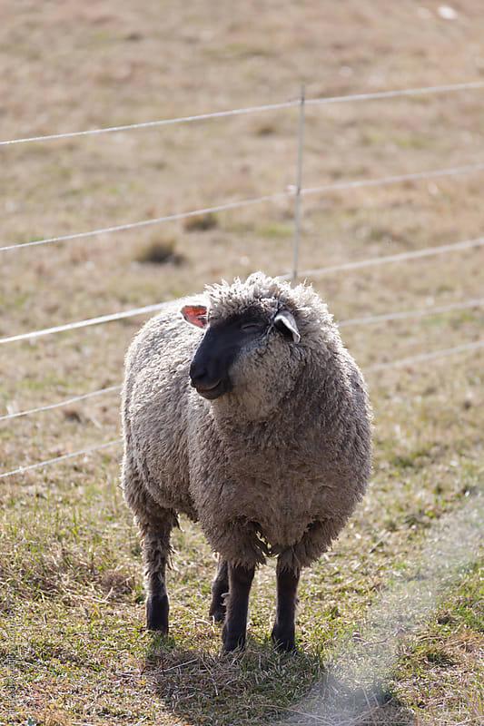 sheep  by jira Saki for Stocksy United
