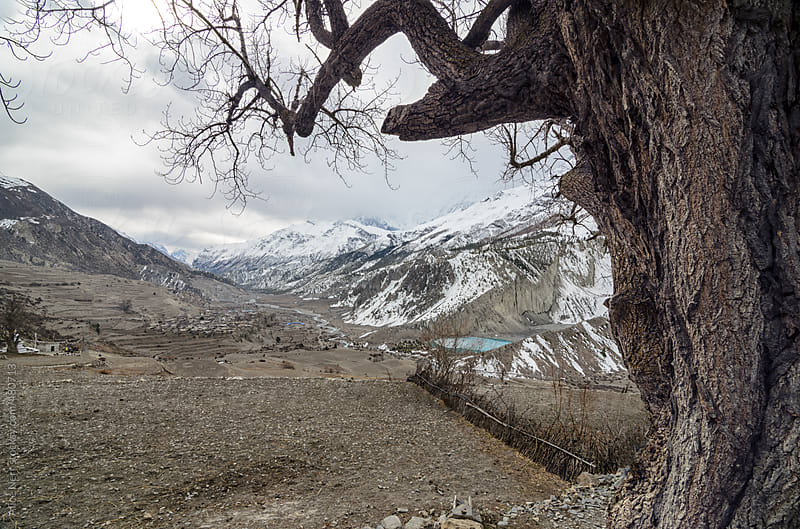 Old dry tree and view to snowy mountain peaks by Alice Nerr for Stocksy United