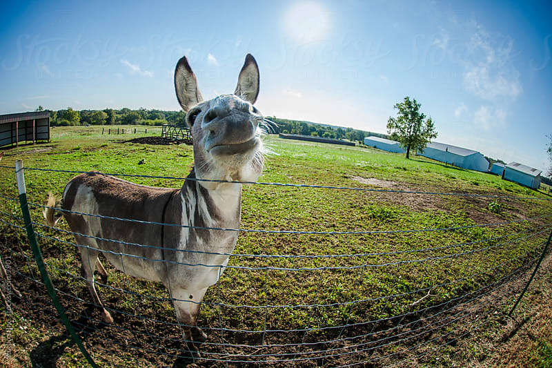 Animal Personalities: Smiling Proud Donkey by Studio J, Inc. for Stocksy United
