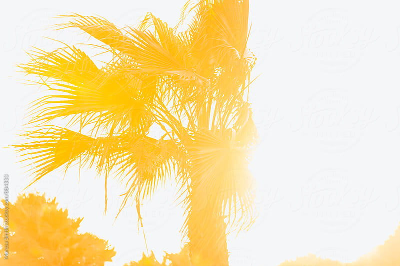 A palm tree photographed at golden hour against a white sky by Maresa Smith for Stocksy United
