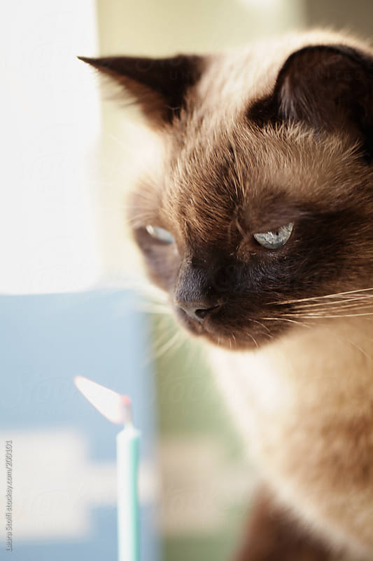 Make a wish: handsome cat in front of burning pale blue birthday candle by Laura Stolfi for Stocksy United