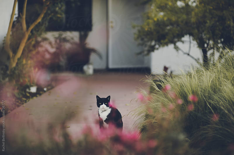 Black and white cat in front of a house gazes through a frame of red blooms by Rachel Bellinsky for Stocksy United