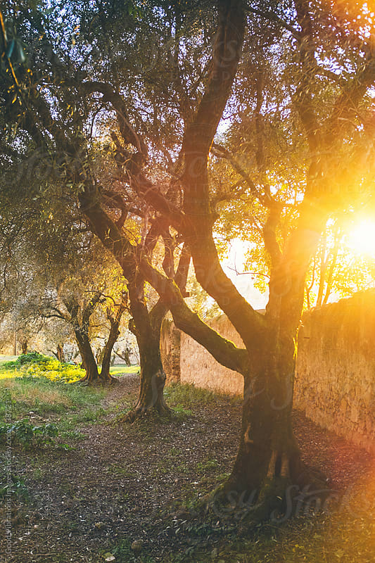 Olive Trees at Sunset by Good Vibrations Images for Stocksy United