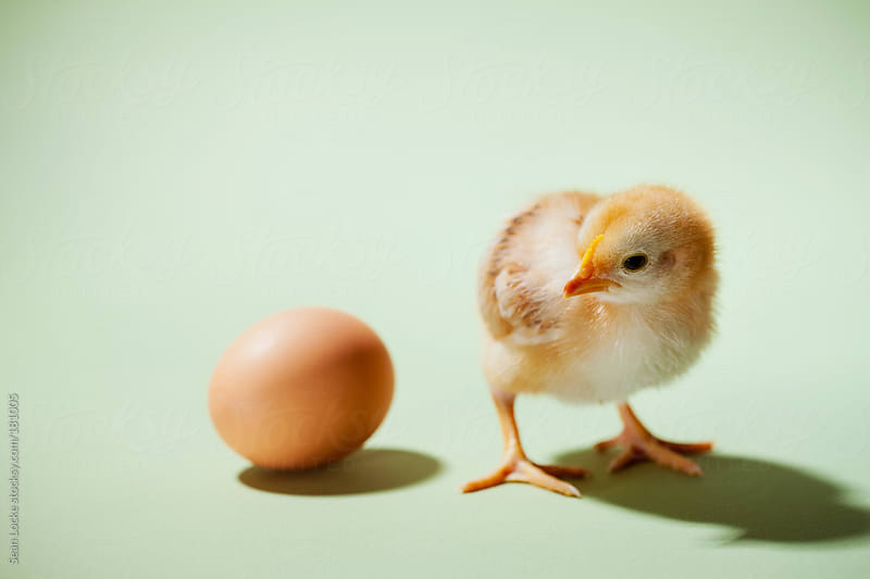 Chicks: Did the Chicken Or The Egg Come First? by Sean Locke for Stocksy United