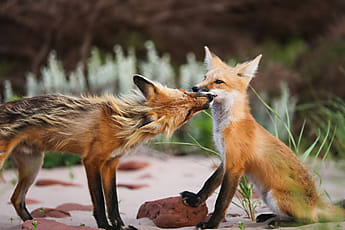 Wild Fox Stretching And Sleeping In Natural Animal Environment