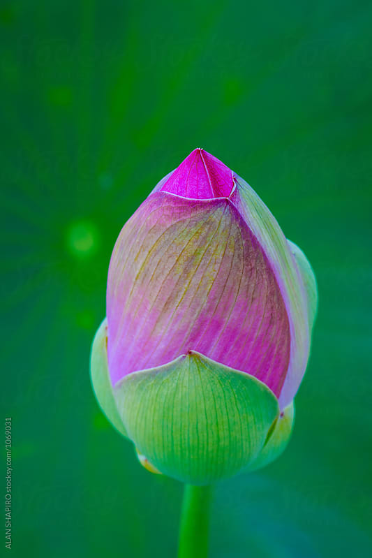 lotus bud by ALAN SHAPIRO for Stocksy United
