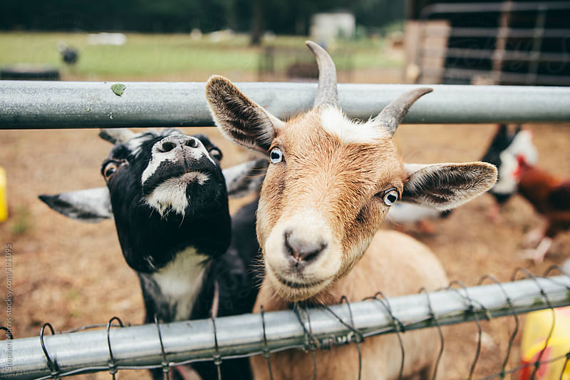 Friendly goats by Stephen Morris for Stocksy United