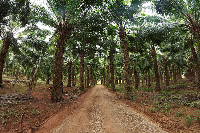 Sideroad throught palm tree plantation by Alice Nerr for Stocksy United