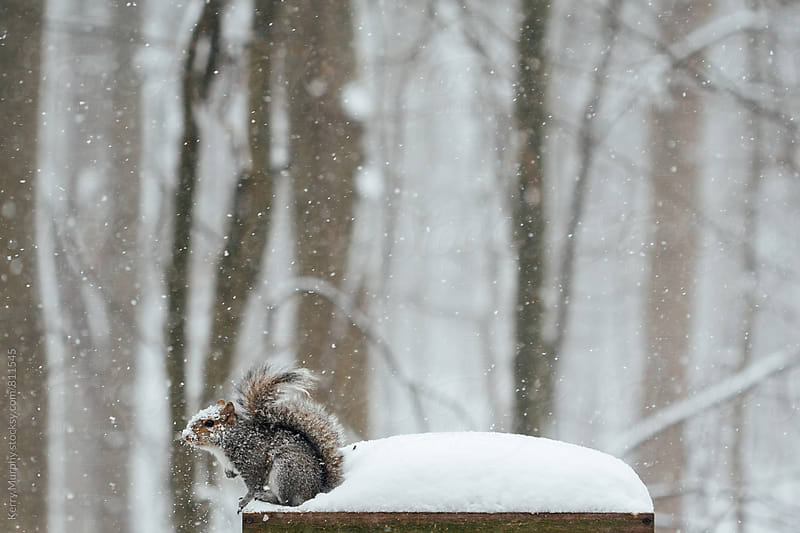 Squirrel covered in snow at birdfeeder by Kerry Murphy for Stocksy United