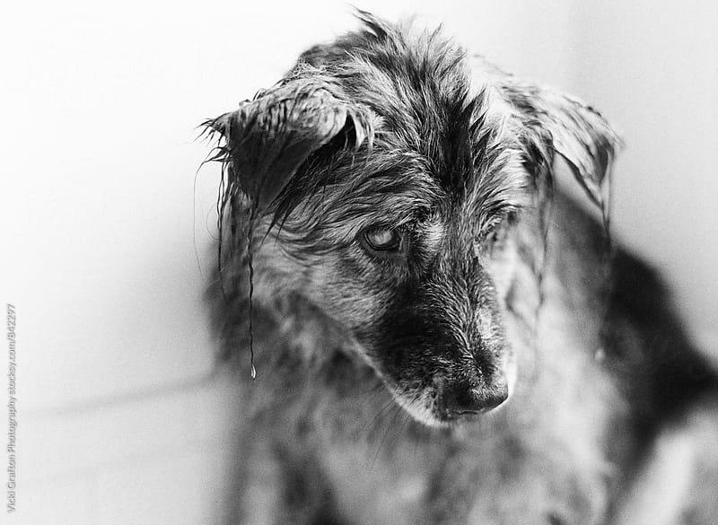 Wet Dog  by Vicki Grafton Photography for Stocksy United