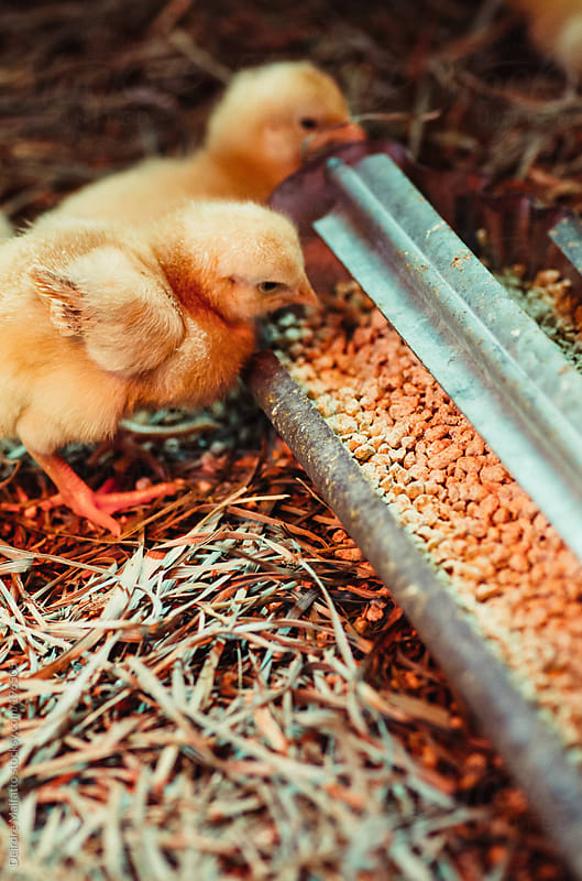 baby chicks eating from a feed trough by Deirdre Malfatto for Stocksy United