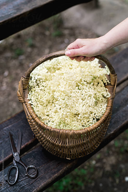 Woman holding basket full of just picked elderflower by Pixel Stories for Stocksy United