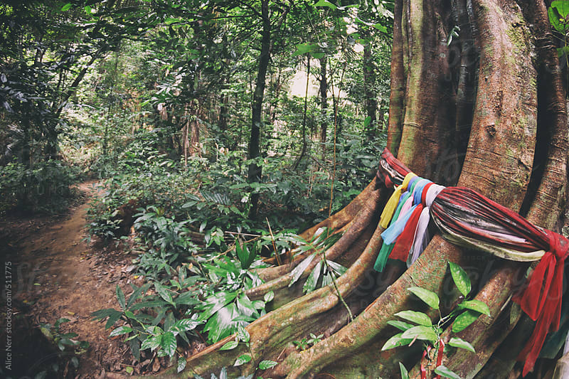 Massive banyan tree with colorful fabric stripes wrapped around it by Alice Nerr for Stocksy United