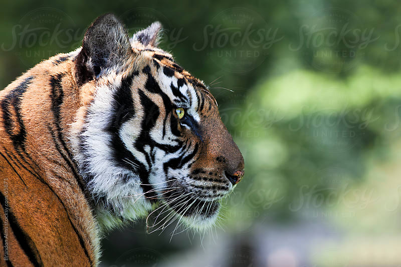 Bengal Tiger Closeup Profile by Brandon Alms for Stocksy United