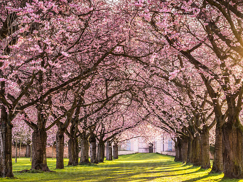 Flowering Cherry Blossom in Park with Tree Alley by Andreas Wonisch for Stocksy United