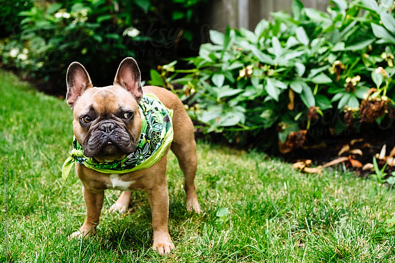 A brown french bulldog puppy outside standing in the grass outside. by J Danielle Wehunt for Stocksy United