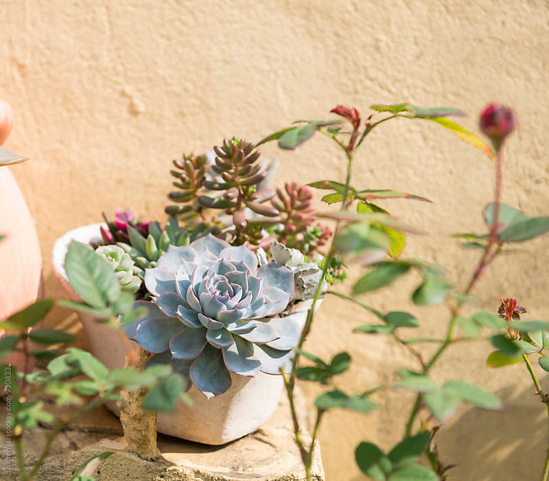 Succulent plants in pot against of beige wall by Lawren Lu for Stocksy United
