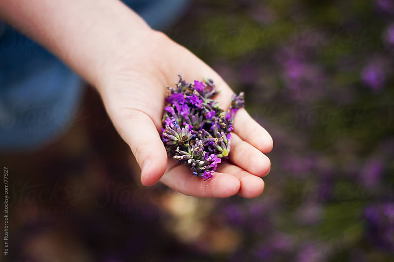 A child's hand full of lavender by Helen Rushbrook for Stocksy United