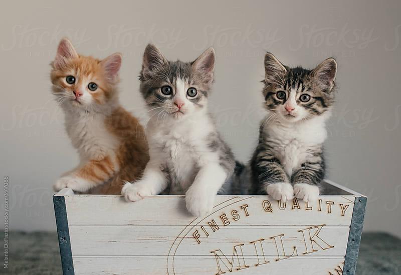 Kittens by Melanie DeFazio for Stocksy United