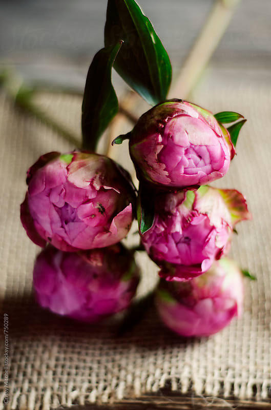 peonies by Crissy Mitchell for Stocksy United