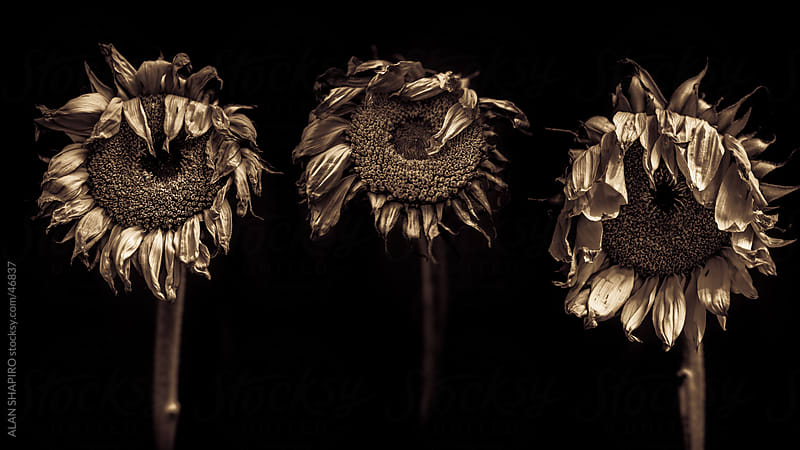 Trio of sunflowers in monochrome by alan shapiro for Stocksy United