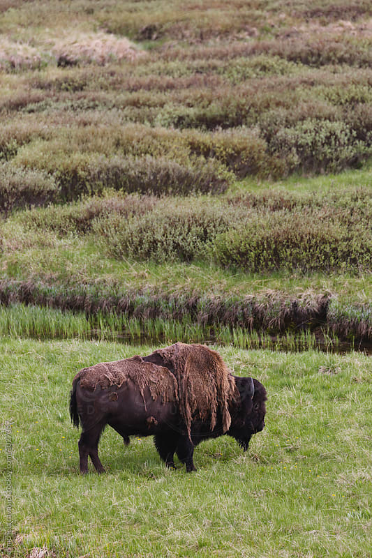 Bison grazing grassy plain by michela ravasio for Stocksy United