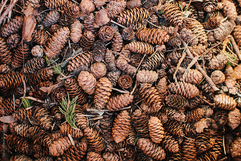 little pinecones in a big pile by Sarah Lalone for Stocksy United