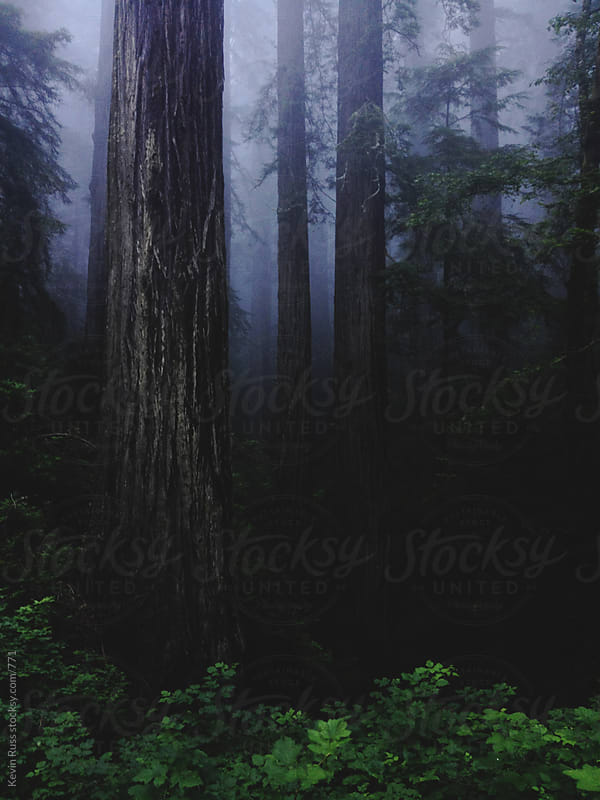 Dark Foggy Redwood Forest by Kevin Russ for Stocksy United