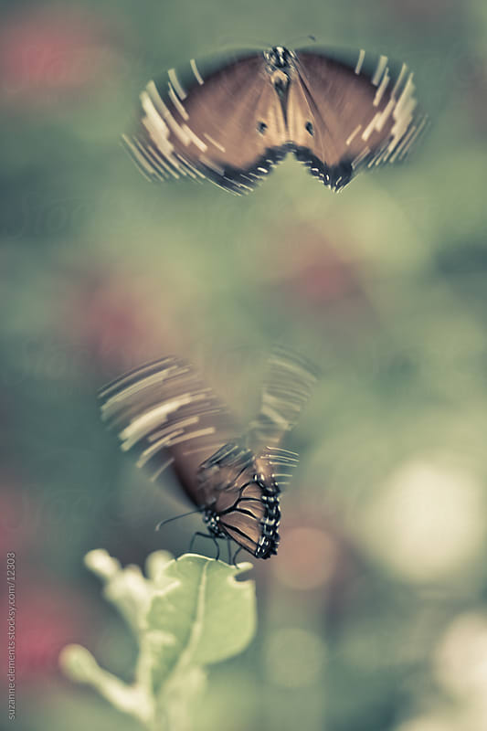 Monarch Butterflies Flying in the Garden by suzanne clements for Stocksy United
