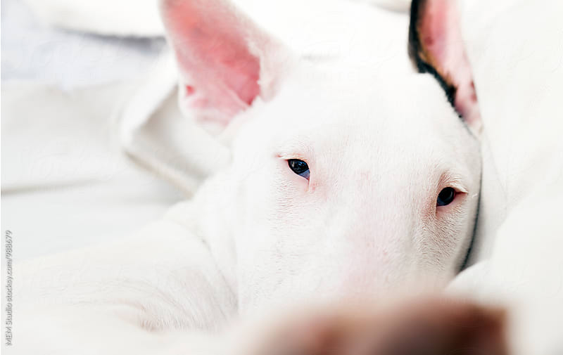 Portrait of a young bullterrier dog by MEM Studio for Stocksy United