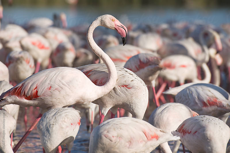 Pink flamingo birds feeding in the water, one standing out by RG&B Images for Stocksy United