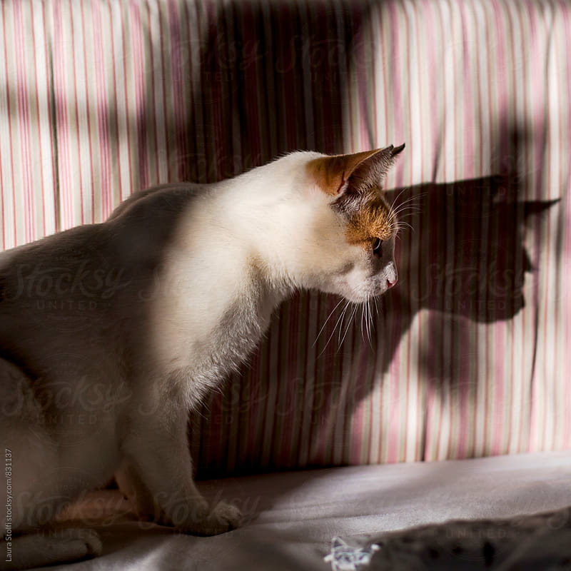 Side view of cat sitting on bed and its shadow by Laura Stolfi for Stocksy United