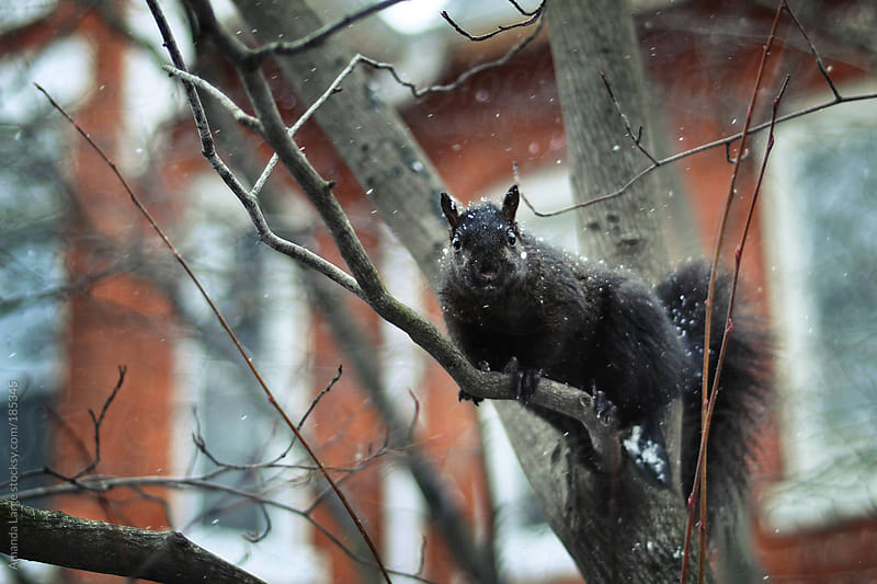 Black squirrel sitting on a tree branch in the snow by Amanda Large for Stocksy United
