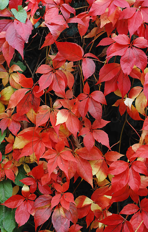 Beautitful vine leaves turning red in october by Marcel for Stocksy United