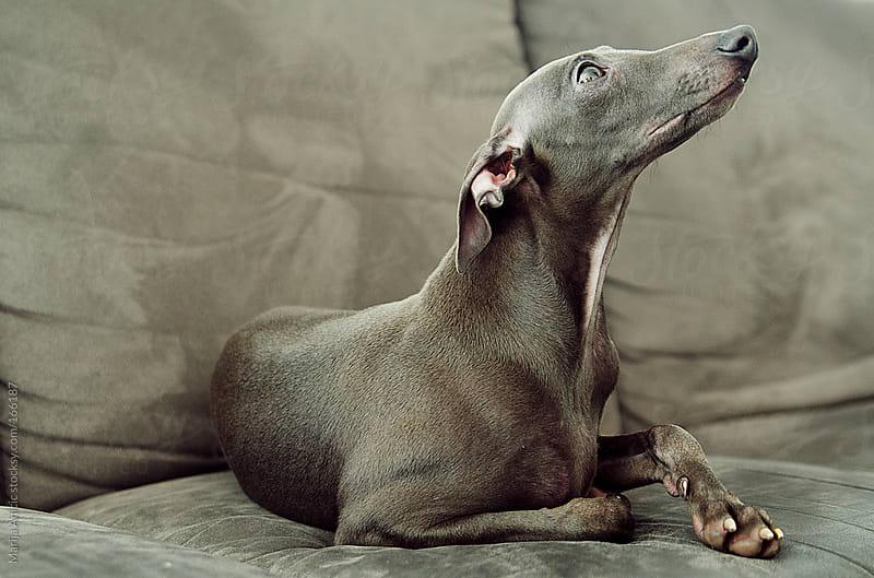 Grey dog on grey sofa,italian greyhound by Marija Anicic for Stocksy United
