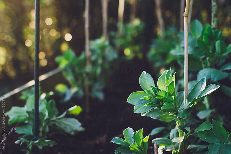 Broad bean plants in a veg patch. by Helen Rushbrook for Stocksy United